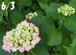 200804_ajisai1.jpg