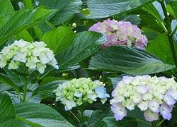 200826_s_ajisai05.jpg