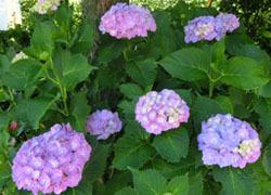 200826_s_ajisai08.jpg