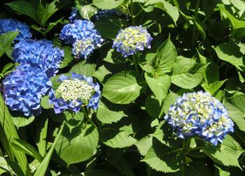 200826_s_ajisai09.jpg