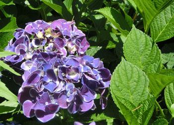 200826_s_ajisai10.jpg