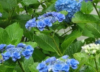 200826_s_ajisai14.jpg