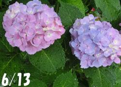 200827_s_ajisai01.jpg