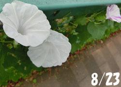 201101_m_asagao1.jpg