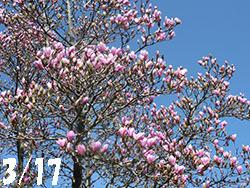 210514_magnolia1.jpg